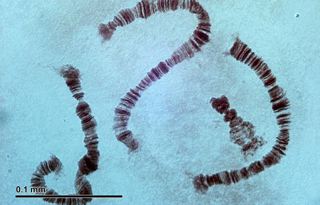 Cromosomi tratto da https://simple.wikipedia.org/wiki/Chromosome